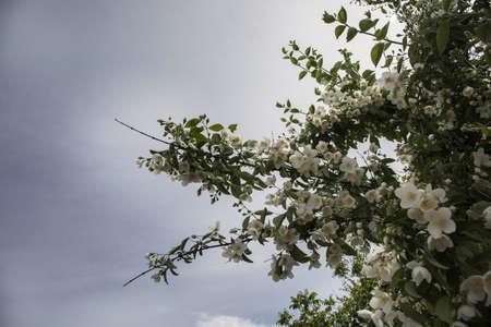 Beautiful flowering Apple Tree against blue sunny sky in Spring, Azerbaijan nature Archivio Fotografico