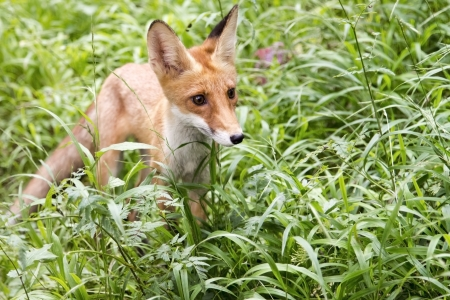 burrows: wild Fox in a forest near the burrows