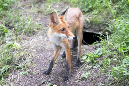 wild Fox in a forest near the burrows photo