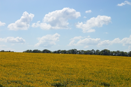 large field of sunflowers in the summer against the blue sky with clouds  photo