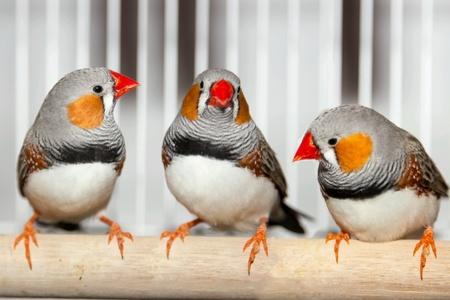 colour: Pets-birds Japanese and zebra finches. fanciscanus. Stock Photo