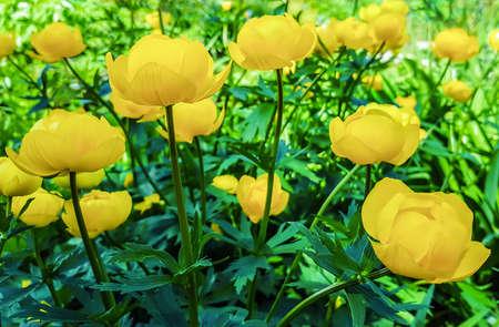Beautiful yellow flowers Trollius asiaticus on flowerbed in garden.