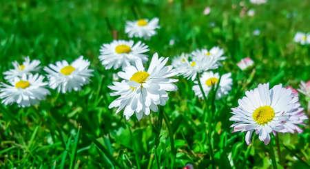 White daisies in green grass in the garden.