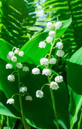 Blooming Lily of the valley in spring garden. Reklamní fotografie