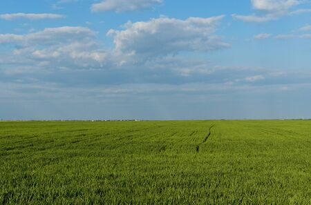 Wheat is growing. Green field and blue sky.View of the agricultural landscape.