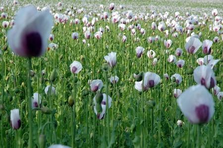 poppy field: papaverveld