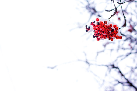 Beautiful rowan fruits on a branch covered with first snow.