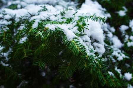 Green branches of conifers covered with snow.