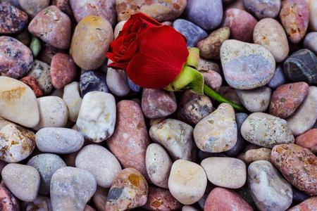 Red flower on sea stones. Sea pebbles. Rose growing on stones. Stock Photo