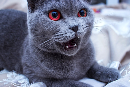 Close up of beautiful light grey cat play and looking in home. Banque d'images