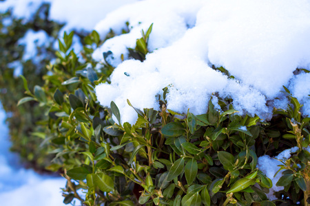 Evergreen buxus sempervirens plant covered by snow Stock Photo