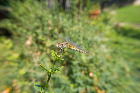 odonata: Lebellula flight on the grass of the garden. Insect of the order of odonate.