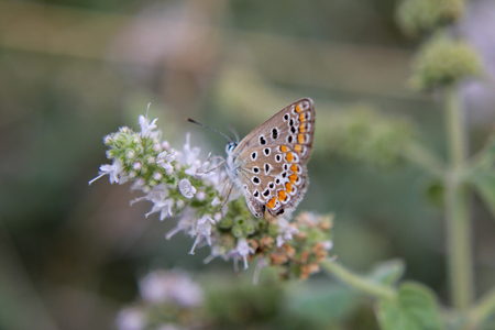lycaena: Butterfly on flower