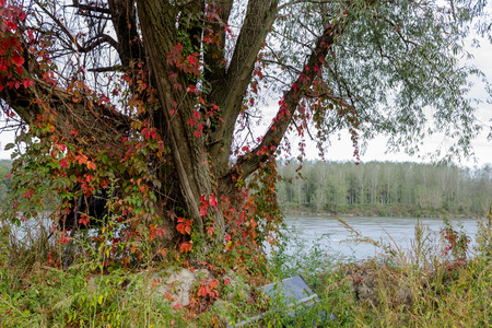 daises: Plant at the rivers edge