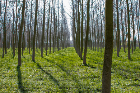 poplar  banks: Cultivation of poplars along the bank of the river PO. Stock Photo