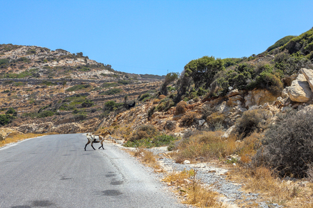 Goat crossing the road on the island of Ios.