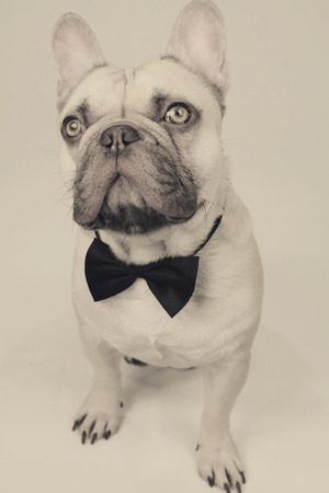 elegant french bulldog Stock Photo