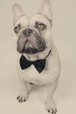 elegant french bulldog Standard-Bild