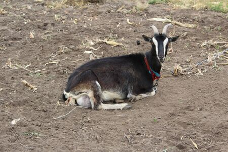 A goat grazes in a pasture and thinks right. I graze on the ground.