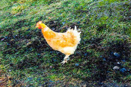 yellow chicken on the street in the courtyard chicken idvor 版權商用圖片