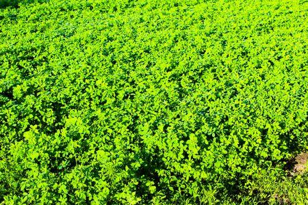 Field of fodder grass, alfalfa matures in Ukraine
