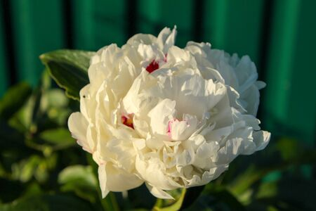 A lone white peony flower has fully blossomed. Standard-Bild