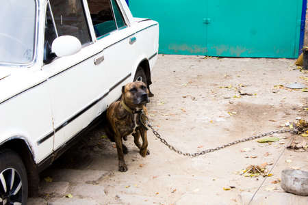 Dog on a leash staff terrier rubs against the side of a car