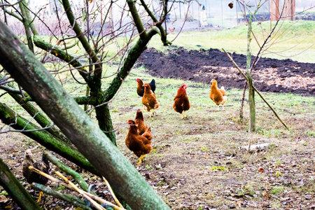Winter walking chickens in the backyard Ukraine