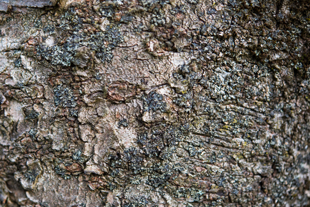 The bark of the sour cherry tree