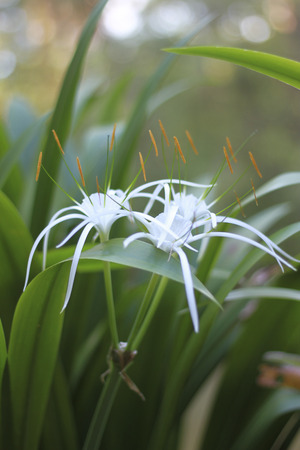 spider lily: White Spider Lily