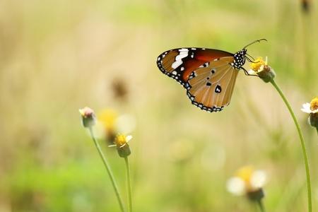 plexippus: Monarch butterfly (Danaus plexippus) on orange garden flowers during autumn migration. Natural green background.