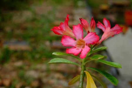 obesum balf adenium: Impala Lily