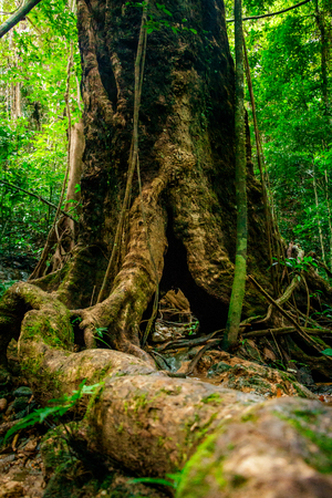 Huge hollow Banyan tree with roots in the foreground and tropical rain forest in the background at Ratchaprapha Dam at Khao Sok National Park, Surat Thani Province, Thailand Stock Photo