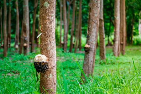 Rubber tree plantation in Koh Samui, Surat Thani, Thailand Stock Photo - 103544716