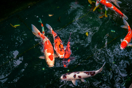 Colorful red and white Koi Carp fish swimming in a zen pond in Japanese Temple, Tokyo, Japan Imagens