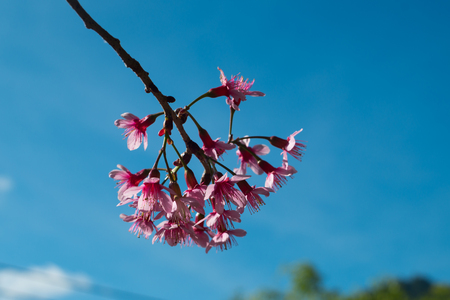 chaingmai: Pink flower with a blue sky, Thai call Khun Chang Kian is a wWld Himalayan Cherry in Chaingmai, THAILAND Stock Photo