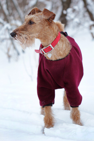 Dog of breed the Irish terrier in winter on a walk