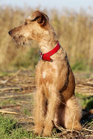 Dog the Irish terrier on walk Stock Photo
