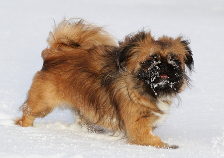 Dog of breed Pekingese on a walk in winter