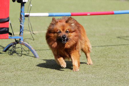 spire: Dog of breed German Spire on the competitions of Agility