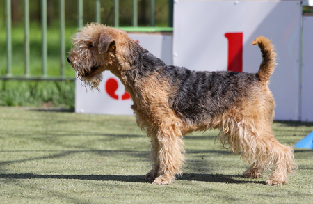 Dog of breed Lakeland Terrier on the competitions of Agility