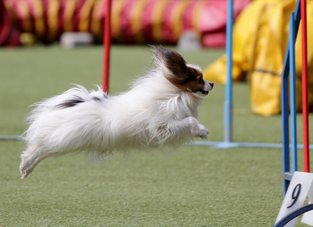Dog of breed Continental Toy Spaniel Papillon on the route of Agility Stock Photo