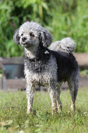 Dog of breed grey poodle on a walk in-field