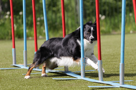 Dog of breed Border Collie on the competitions of agility trials