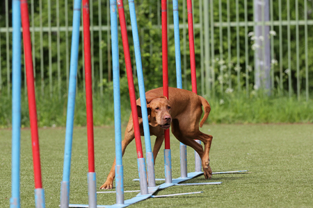 Dog of breed of magyar vizsla on the competitions of Agility