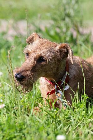 Dog of breed the Irish terrier on a walk in-field
