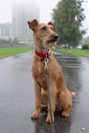 Dog of breed the Irish terrier on a walk on a city in a rain Stock Photo