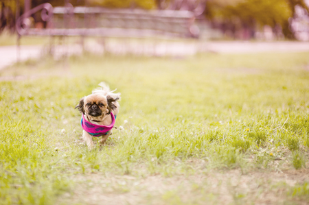 Pekingese dog walk in park in coat