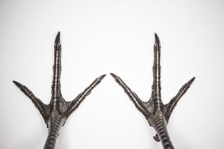 bird feet: Pheasant legs. Cute bird feet. Beautiful bird. Beautiful pheasant. Macro bird legs. Wonderful photo with birdy feet.