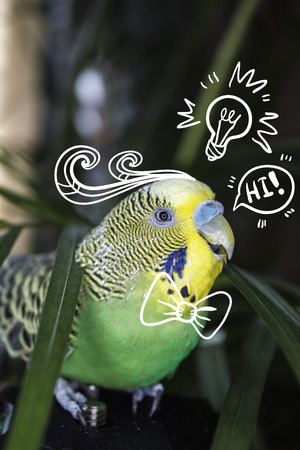 psittacidae: Shell parakeet. Cute little parrot.  Photo with illustration.